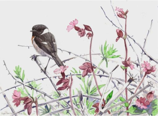 allen-richard-summer-stonechat