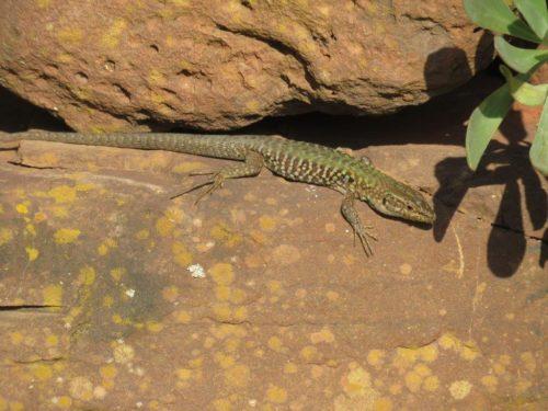 Italian Wall Lizard